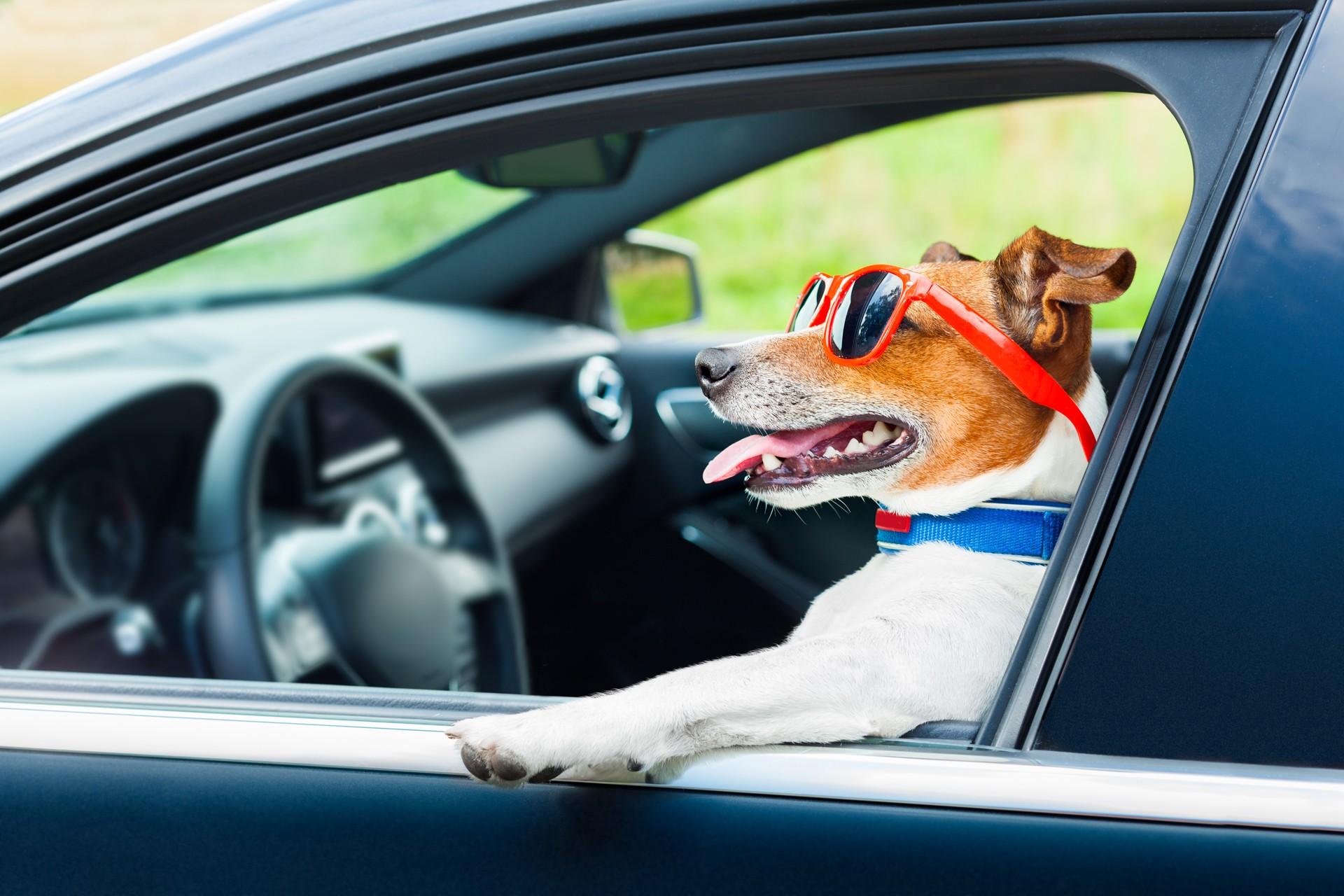 Перевозка собак в багажнике автомобиля